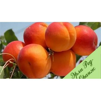 """Саженец абрикоса """"Эрли Оранж"""""""