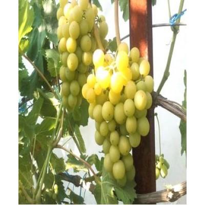 "Саженец винограда ""Колобок"""